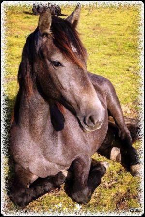 Barock-pferd - Amarylus