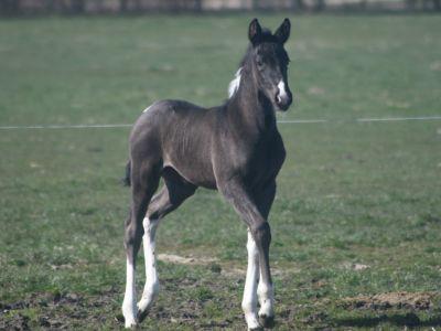 Hc-horses Eaike V.d.I