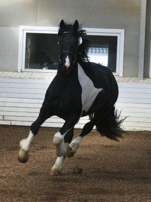 Hc-horses Fröjman-080