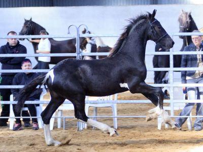 Hc-horses Jögman Von S